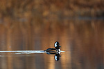 Drake hooded merganser in northern Wisconsin.