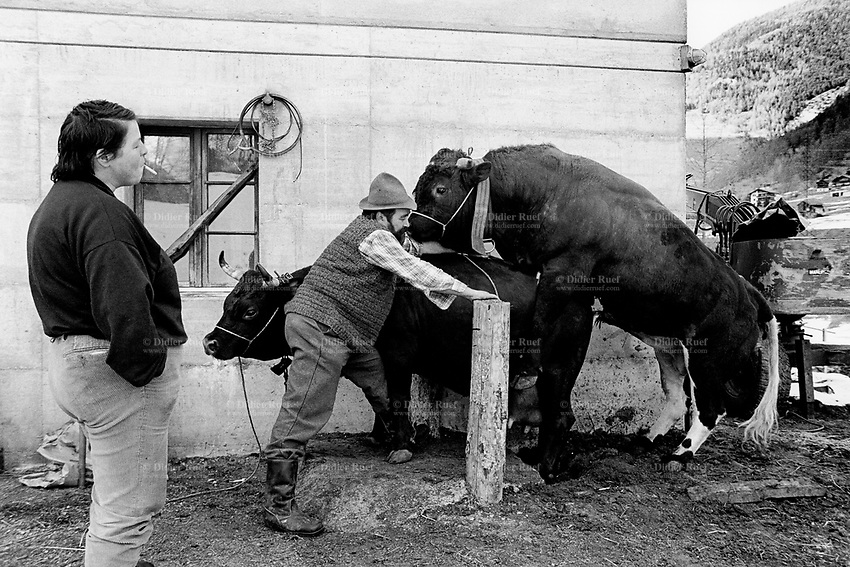Switzerland. Canton Valais. Hèrens valley. Evolène. Breeding animals. The wife smokes a cigarette while her husband watches the bull penetrating the cow. The Herens Cattle is one of the smallest cattle breeds. Their fur is dark red to brown or black. A distinguishing feature is the short and broad head, with a concave front line. The animals are very muscular, with sporting strong horns. Bulls typically reach a height of 125-134 cm, weighing 650-700 kg. Cows reach 118-128cm and 500-600 kg. Swiss alpine farmers. Alps mountains peasants.  © 1996 Didier Ruef