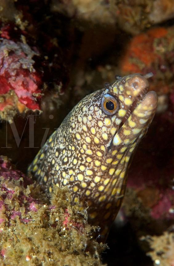 Jewel Moray (Muraena lentiginosa) Eel on a reef in Costa Rica