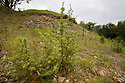 Young Juniper (Juniperus communis) plants, growing in a fenced scrape to increase the local population, Painswick Beacon, Gloucestershire. July.