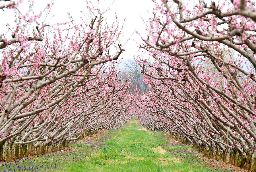 Chiles orchard in Albemarle County, VA. Photo/Andrew Shurtleff