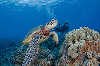 Green sea turtle, Chelonia mydas, and a diver with a camera Hawaii, USA, Pacific Ocean, MR
