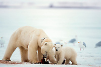 polar bears, Ursus maritimus, feeding on baleen whale, (note tracking collar on mother bear) Arctic National Wildlife Refuge 1002 area, North Slope of Alaska, polar bear, Ursus maritimus