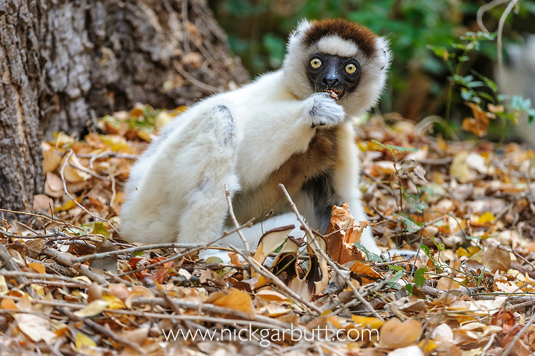 Adult Verreaux's Sifaka (Propithecus verreauxi) eating terrestrial parasitic flower (Hydnora esculenta) in gallery forest. Berenty Private Reserve, southern Madagascar