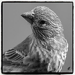 This is an image under Copyright © 2020 by Tom Priddy, Greer, S.C. Not to be used or reproduced without written permission. <br /> <br /> nature, birds, birdsofinstagram, birdwatching, backyardbirds, wildlifephotography, birdphotography, birding, wildlife, backyard birds, bird portrait<br /> <br /> Note that all images will be printed as squares, regardless of paper size chosen.