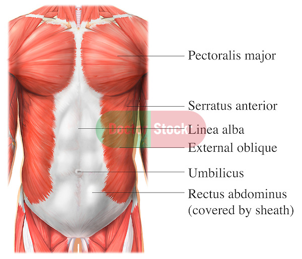 This full color stock medical exhibit illustrates the anterior muscles of the torso. The following structures are labeled: pectoralis major, serratus anterior, linea alba, external oblique, umbilicus, rectus abdominus