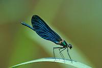 Blauflügel-Prachtlibelle, Prachtlibelle, Blauflügelprachtlibelle, Männchen, Calopteryx virgo, bluewing, Beautiful Demoiselle, demoiselle agrion, male, le Caloptéryx vierge, Agrion vierge