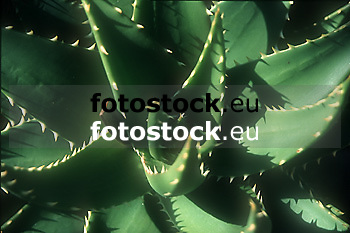 Aloe Vera<br /> <br /> Original: 35 mm slide transparency