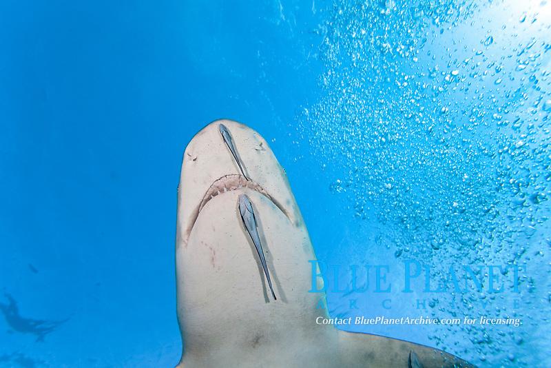 Lemon shark, Negaprion brevirostris, underwater with remoras, West End, Grand Bahamas, Atlantic Ocean