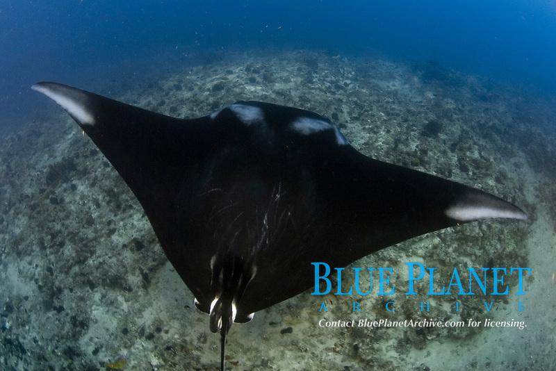giant oceanic manta ray portrait, Mobula birostris, formerly Manta birostris, on cleanning stacion off shore the Yucatan peninsula, Mexico Caribbean sea