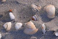 Schelpen met o.a. Kokkel (Cerastoderma edule) op het strand