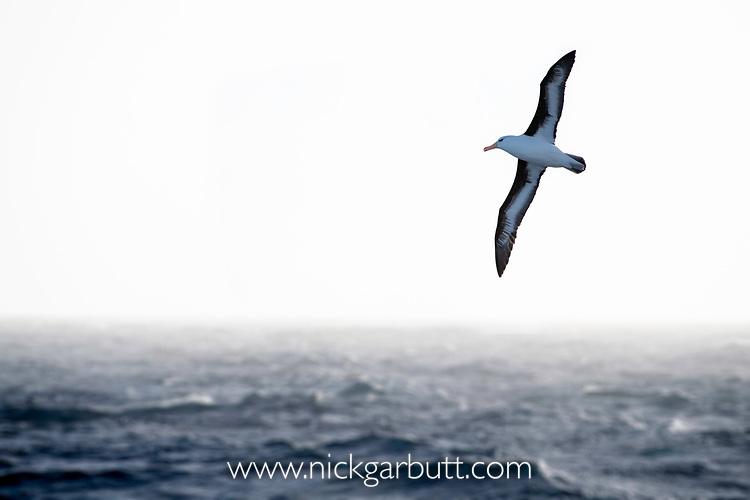 Black-browed albatross (Thalassarche melanophris) in flight over seas off South Georgia, South Atlantic.