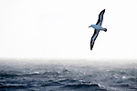 Black-browed albatross (Thalassarche melanophris) in flight over seas off South Georgia, South Atlantic.