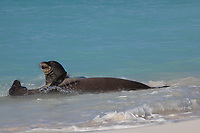 Hawaiian monk seals, Neomonachus schauinslandi, male (rear) makes advances toward resisting female (front), Critically Endangered endemic species, Sand Island, Midway, Atoll, Midway Atoll National Wildlife Refuge, Papahanaumokuakea Marine National Monument, Northwest Hawaiian Islands ( Central North Pacific Ocean )