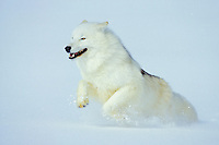 Arctic Wolf or Arctic Gray Wolf running in snow.