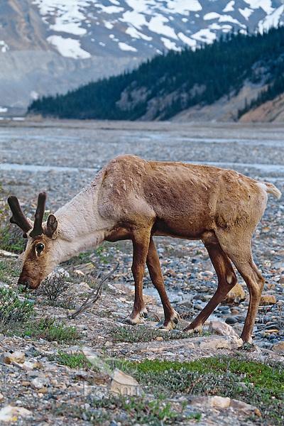 Woodland Caribou or Mountain Caribou (Rangifer tarandus caribou) bull grazing along glacieral stream.  Northern Rockies.  Spring.