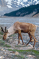 Woodland Caribou or Mountain Caribou (Rangifer tarandus caribou) bull grazing along glacieral stream.  Northern Rockies.  Spring.