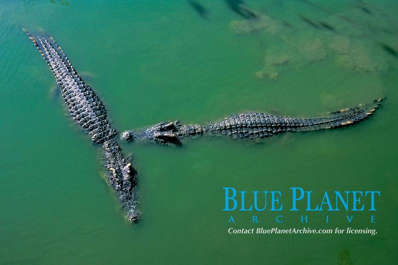 saltwater crocodiles, Crocodylus porosus, Queensland, Australia