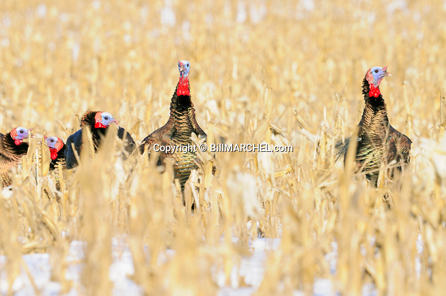01225-10603 Wild Turkey:  Five toms are feeding in corn field during winter.  Survive, food, cold.