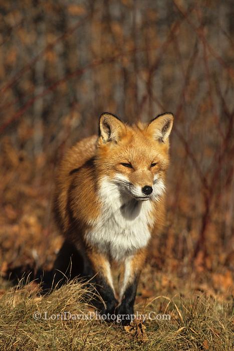 Walking Red Fox #W44