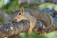 Eastern Fox Squirrel, Sciurus niger, adult on tree, Uvalde County, Hill Country, Texas, USA, April 2006