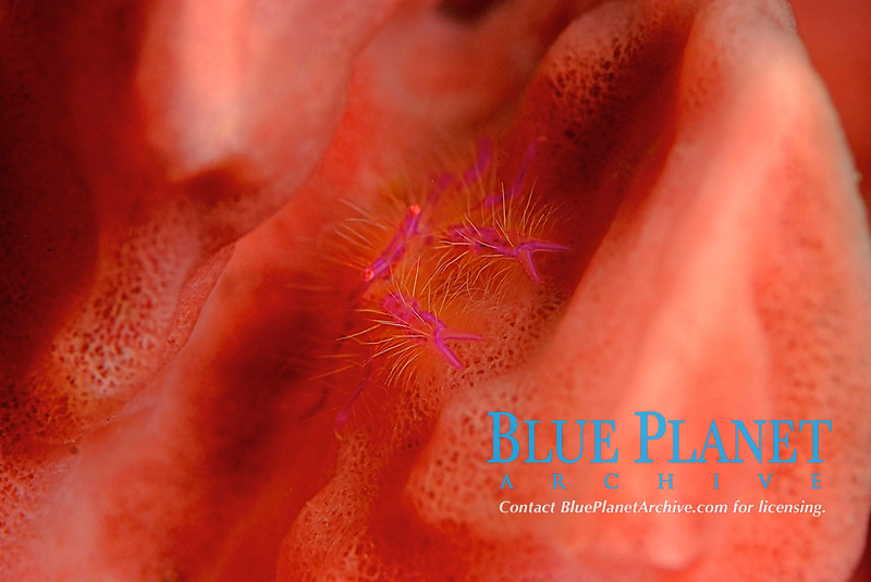 Hairy squat lobster, Lauriea siangiani, in a pink sponge. Raja ampat, West Papua, Indonesia, Pacific Ocean