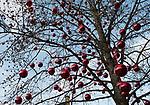 Oesterreich, Salzburger Land, Salzburg: Hellbrunner Adventzauber, Weihnachtsmarkt beim Schloss Hellbrunn, grosse rote Weihnachtskugeln schmuecken einen Baum | Austria, Salzburger Land, Salzburg: Christmas Market at Castle Hellbrunn, big red Christmas Ball Ornaments decorating a normal tree