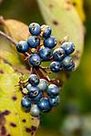 Asianic sweetleaf close-up of berries