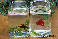 BY15-073z  Siamese Fighting Fish - territorial display by 2 males in separate containers - Betta splendens