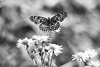 Black and white photograph of Montana butterfly feeding on wild yellow daisies