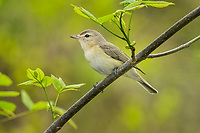 Warbling Vireo (Vireo gilvus).  Great Lakes Region.  May.