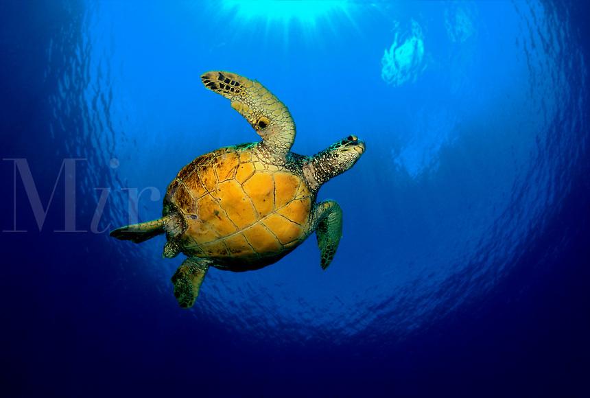 Green sea turtle Chelonia mydas underwater protected endangered reef scene horizontal reptile endangered female marine