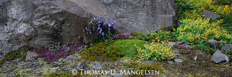 Wild thyme and harebells growing in Skaftafell National Park, Iceland.