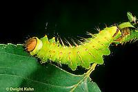 LE41-017a  Polyphemus Moth - caterpillar - Antheraea polyphemus