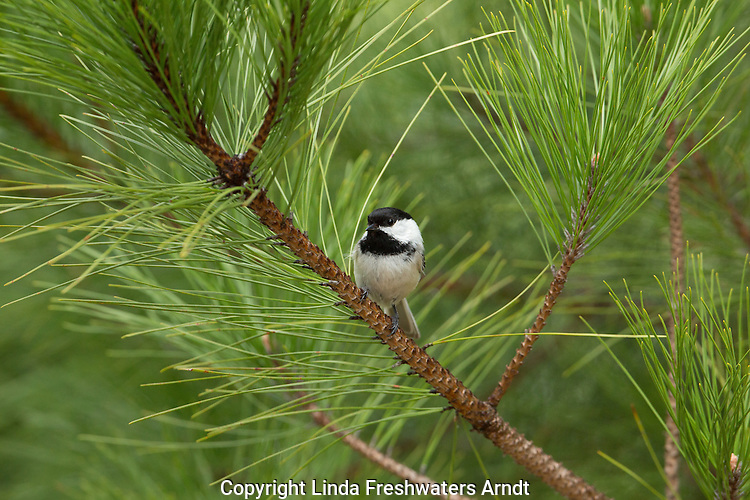 Black-capped chickadee in a red pine tree
