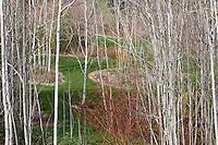 Grove of Quaking Aspen poplar trees (Populus tremuloides) East Bay Regional Parks Botanic Garden, California native plant in winter with white bark