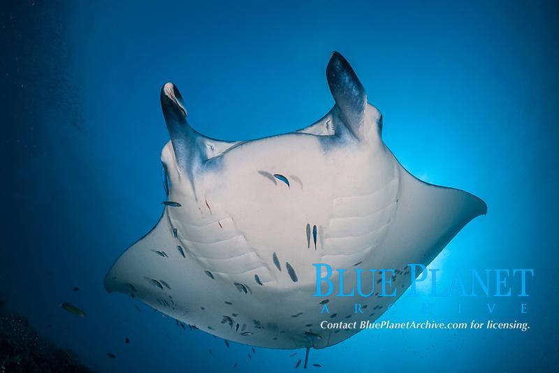 reef manta ray, Mobula alfredi, being cleaned by moon wrasses, Thalassoma lunare, and blue-streak cleaner wrasses, Labroides dimidiatus, Hanifaru Bay entrance, Hanifaru Lagoon, Baa Atoll, Maldives, Indian Ocean