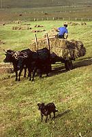 Europe/France/Auvergne/15/Cantal/ env d'Allanche: Fenaison avec un attelage de vaches équipées d'un joug [<br /> PHOTO D'ARCHIVES // ARCHIVAL IMAGES<br /> FRANCE 1980