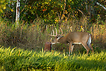 White-tailed buck and a mineral block