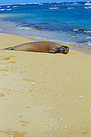 Hawaiian monk seal (Monachus schauinslandi) resting on beach, Kauai, Hawaii. Endangered Species.