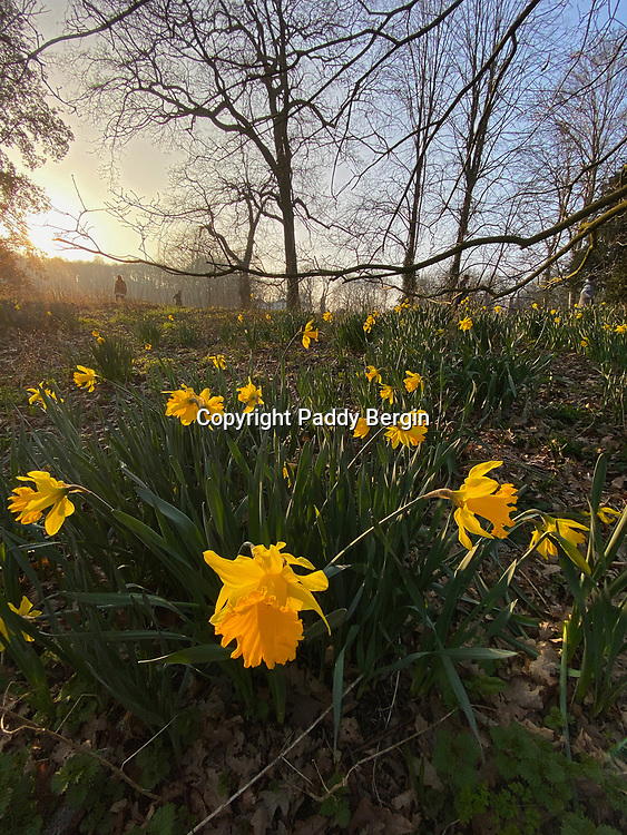 Narcissus is a genus of predominantly spring flowering perennial plants of the amaryllis family, Amaryllidaceae. Various common names including daffodil, narcissus and jonquil are used to describe all or some members of the genus.<br /> <br /> Stock Photo by Paddy Bergin