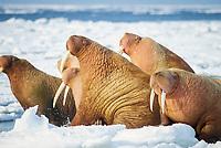 walrus, Odobenus rosmarus, group on the pack ice of the Bering sea Alaska, Arctic