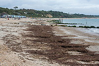 BNPS.co.uk (01202 558833)<br /> Pic: MaxWillcock/BNPS<br /> <br /> Pictured: The mass of rotten seaweed.<br /> <br /> A south coast beach has become a no-go zone at the height of the summer holidays after a mass of rotten seaweed was allowed to fester on the sand.<br /> <br /> The vast carpet of kelp has been left to gather on Avon Beach in Christchurch, Dorset, for over a month.<br /> <br /> The unpleasant mess is attracting flies and is putting people off visiting the beauty spot which is normally hugely popular with families.<br /> <br /> Bathers are having to wade through the sticky seaweed to get to the sea and are usually left with their legs covered in it.