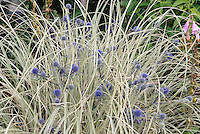 Eryngium planum Blaukappe in blue flowers with ornamental grass Miscanthus sinensis plant combination