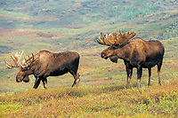bull moose, Alces alces, two brothers looking to feed in willow bushes in Denali National Park,, Alaska, USA