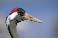 Kranich, Portrait, Grus grus, common crane
