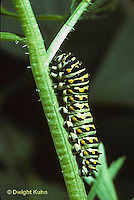 LE32-003d  Butterfly - Eastern Black Swallowtail caterpillar - Papilio polyxenes