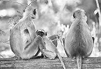 Southern plains gray langurs watch for signs of danger in Kanha National Park.