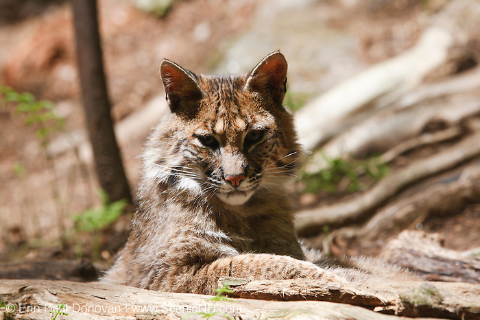 Bobcat - Lynx rufus - This Bobcat is in captivity at Squam Lakes Natural Science Center in Holderness, New Hampshire USA and like most animals at the science center it is injured or unable to survive in the wild