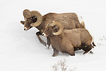 Bighorn Sheep (Ovis canadensis) rams in winter, Lamar Valley, Yellowstone National Park, Wyoming